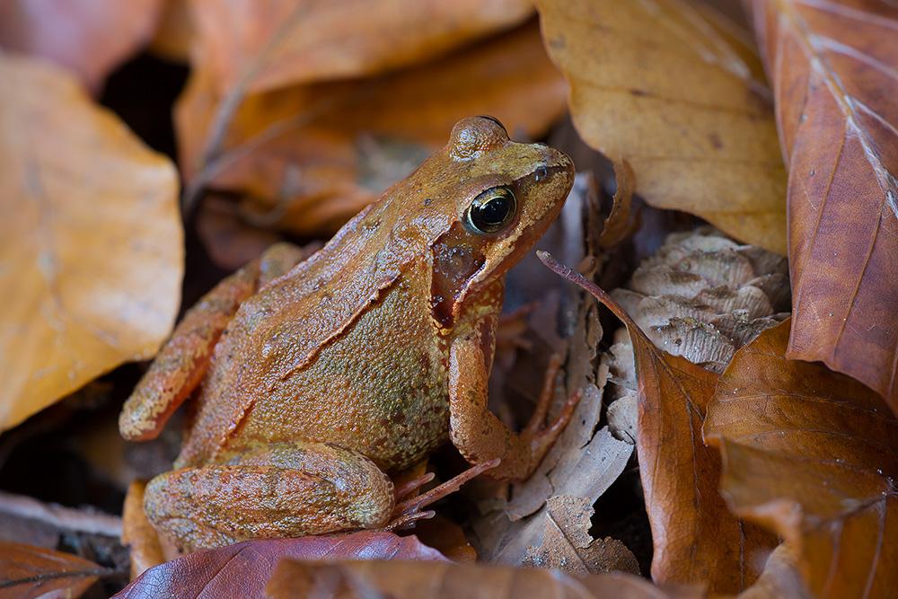 Bruine kikker in herfstblad