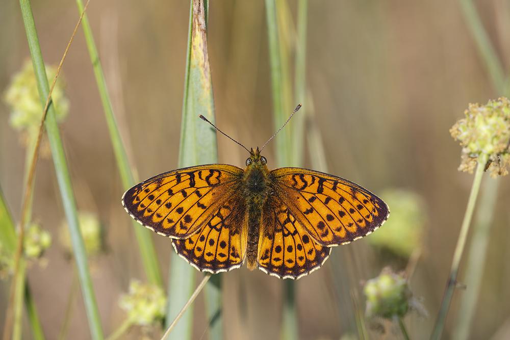 Grote parelmoervlinder, Zuid Frankrijk