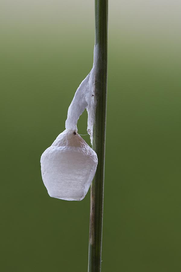 Feeënlampje: eicocon van een Lantaarnspinnetje
