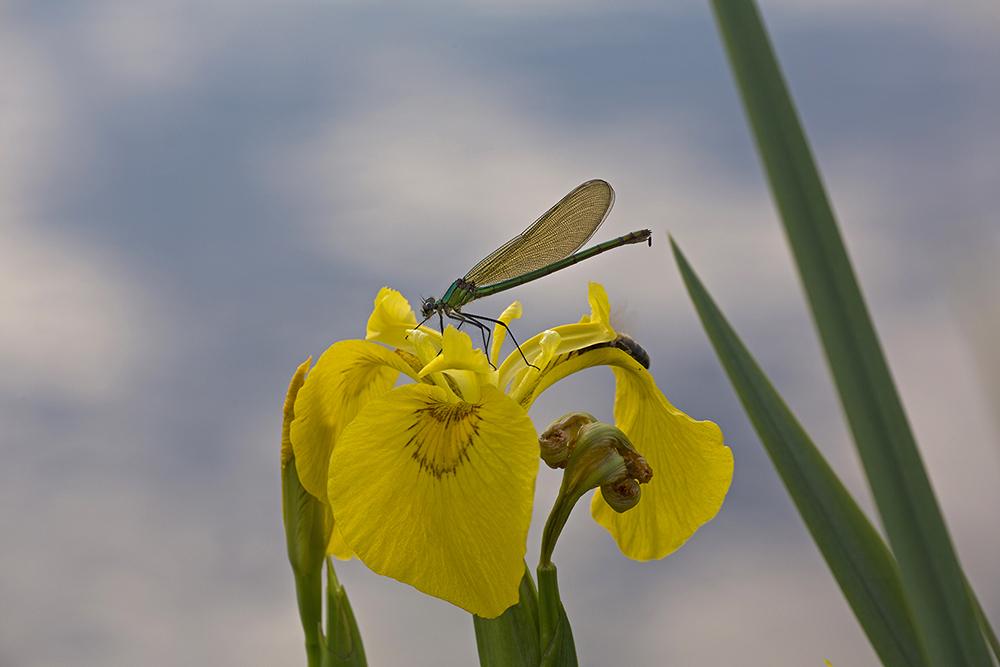 Weidebeekjuffer op Gele lis
