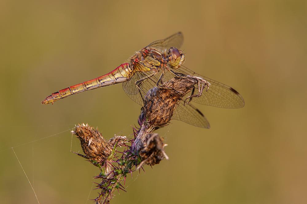 Steenrode heidelibel, vrouw