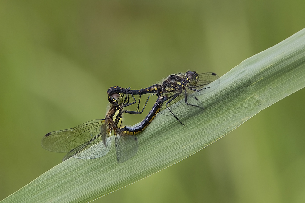 Zwarte heidelibel, copula