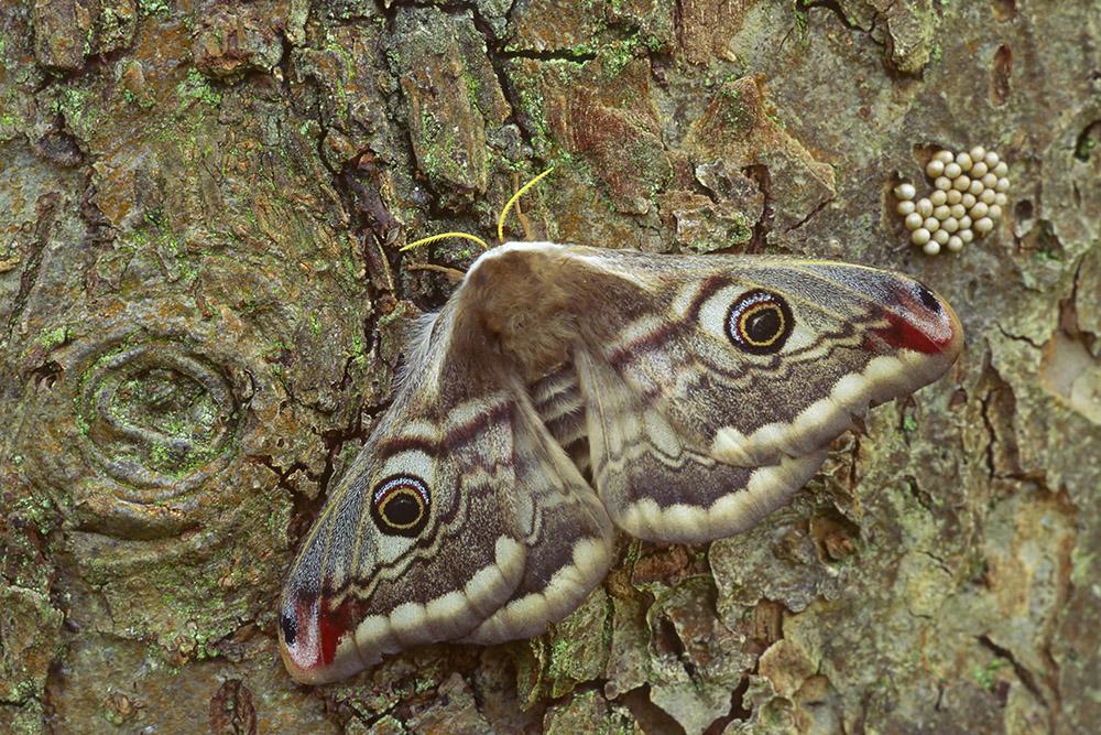 Nachtpauwoog vrouwtje