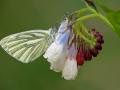 Klein geaderd witje op Smeerwortel