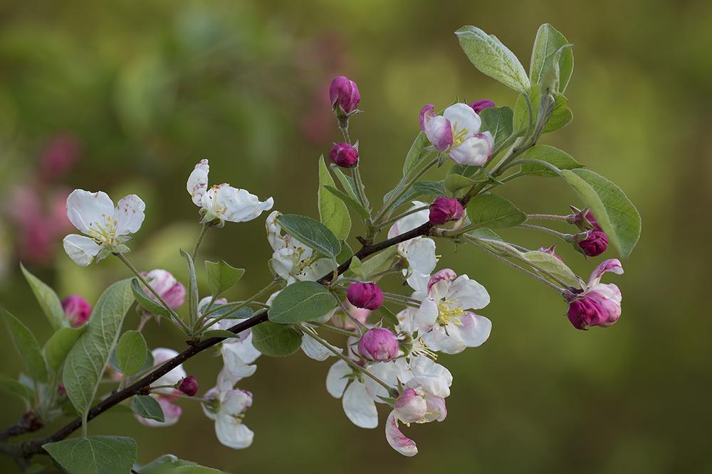 Appelbloesem, De Heliant