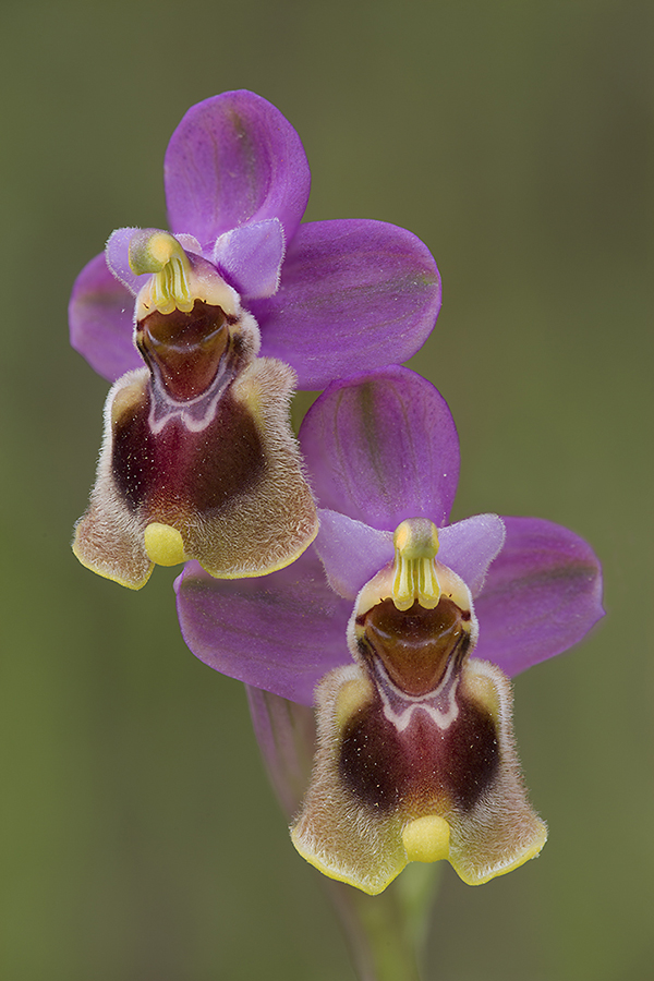 Wolzweverorchis, Ophrys tenthredinifera, Extremadura