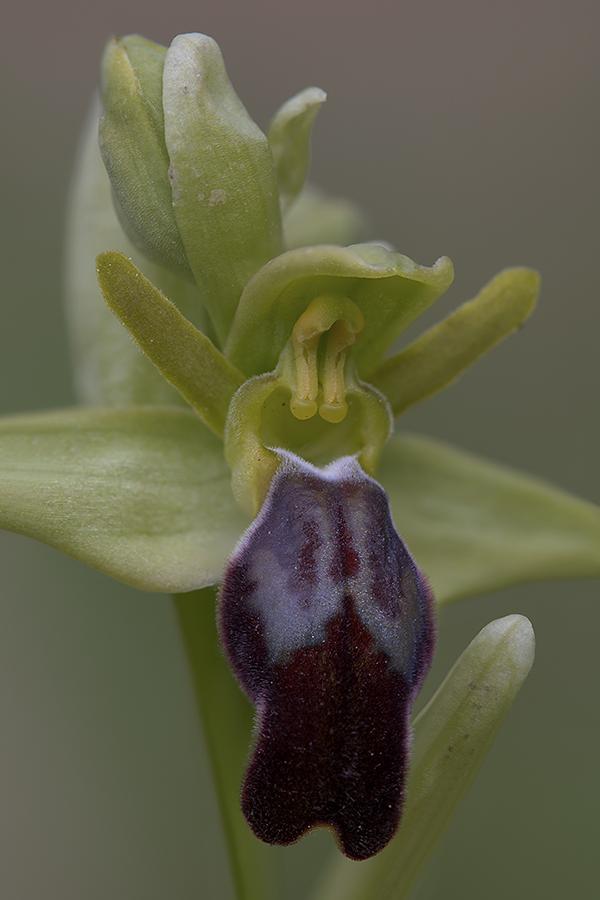 Ophrys fusca, Extremadura, Spanje