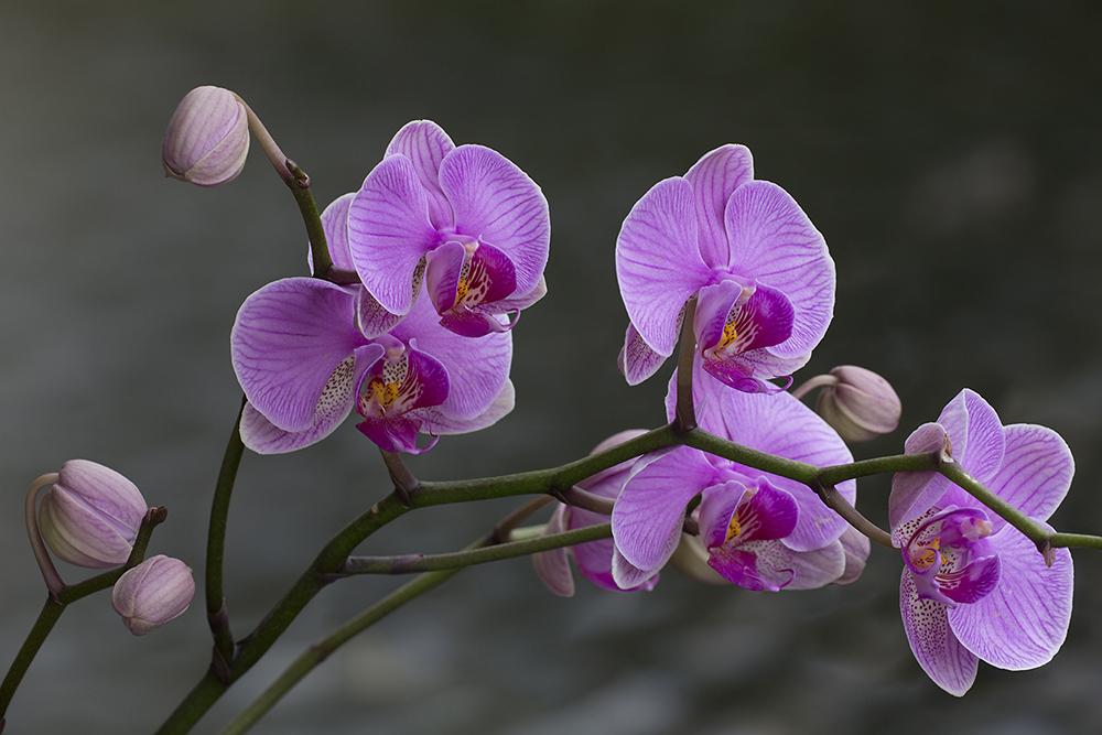 Phalaenopsis, Orchideeënhoeve