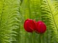 Tulpen & Varens