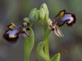 Ophrys speculum, Extremadura, Spanje