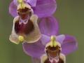 Wolzweverorchis, Ophrys tenthredinifera, Extremadura