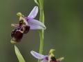 Sniporchis, Ophrys scolopax, Extremadua