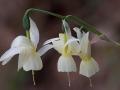 Narcissus triandrus palidulus, Picos de Europa