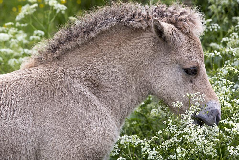 Veulen fjordenpaard