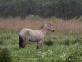 Fjordenpaard in de regen