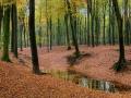 Herfst in het beukenbos