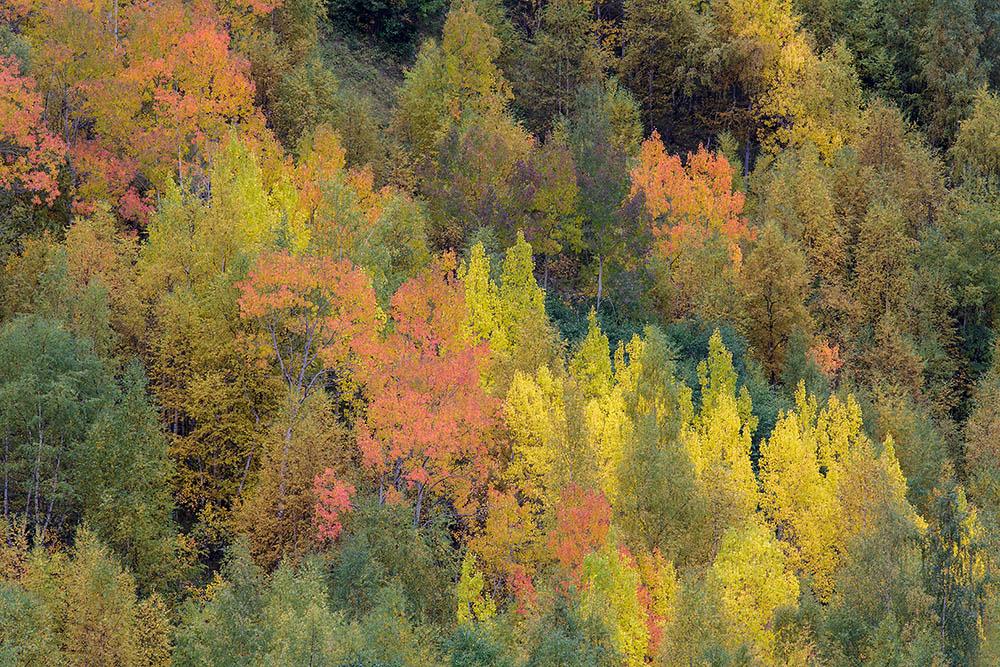 Espen in herfstkleuren