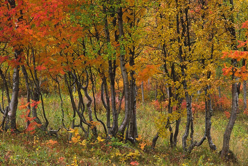 Herfstbomenrij, Zweeds Lapland
