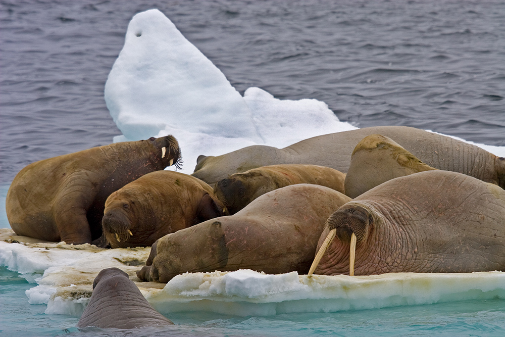 Walrussen 1000
