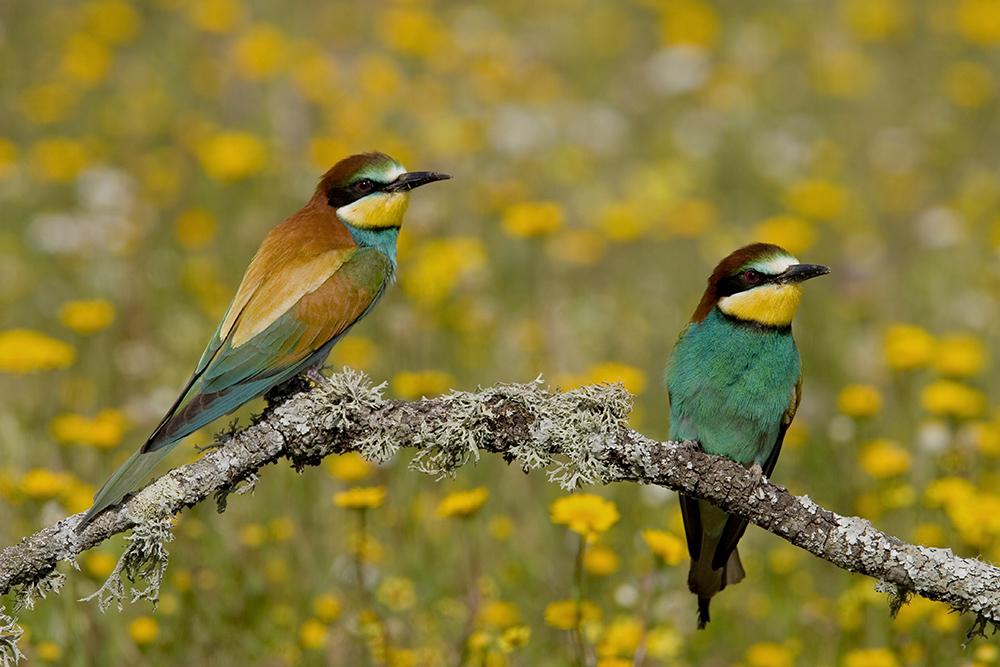Bijeneters, Extremadura