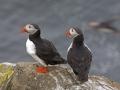 Papegaaiduikers, eiland Grimsey