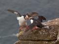 Vechtende Papegaaduikers, Latrabjarg, IJsland