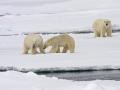 Drie IJsberen